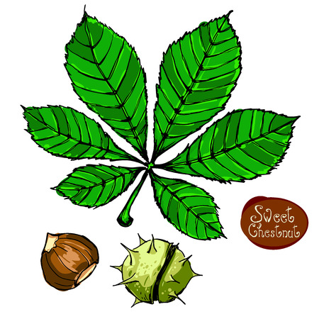 rind: Spanish chestnut and chestnut leaves isolated on white. Set of graphic hand drawn illustrations