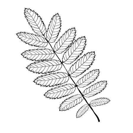 Isolated skeleton rowan leaf with veins