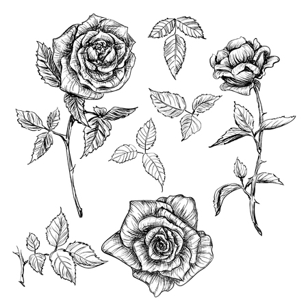 Hand drawn detailed isolated flowers rose and leaves set in vintage style. It can be used for engraving, foil or tattoo
