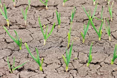young green shoots of garlic in cracked earth