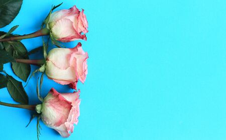 Pink roses on blue background board. Flowers greeting card, copy space, close-up.