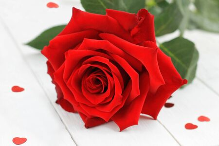 Fresh red rose flower on the white wooden shelf with red hearts confetti. Close-up of bud flower. Image of Valentines day.