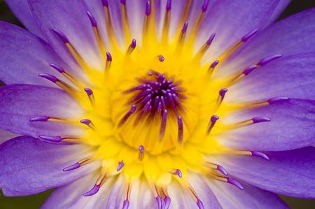 lotus flower for concept purpose Stock Photo - 3097585