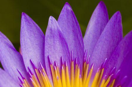 lotus flower for concept purpose Stock Photo - 3097607