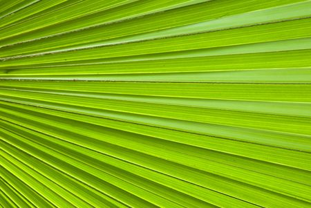 Chusan Palm Leaf section Stock Photo - 3416700