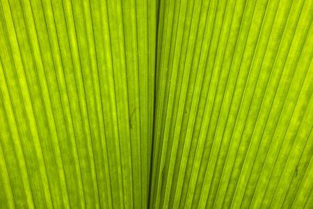 Chusan Palm Leaf section photo