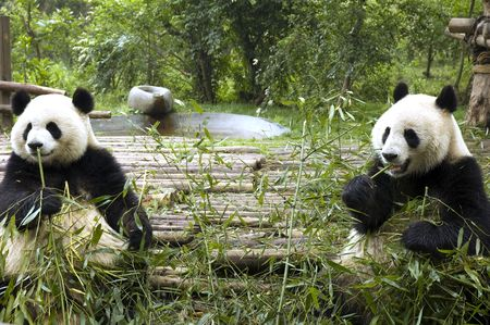 pandas feeding Stock Photo