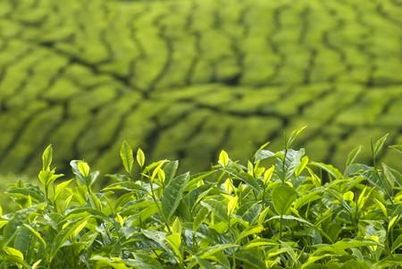 tea leaves Stock Photo - 4693657