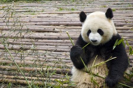 panda bear: panda feeding