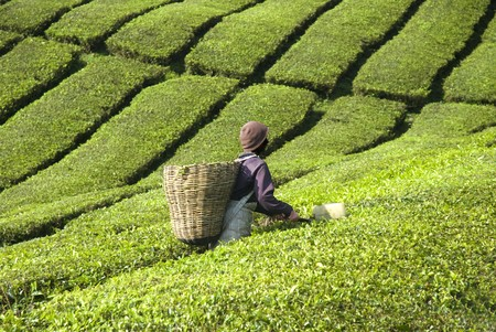 tea estates: tea plantation cameron highlands Stock Photo