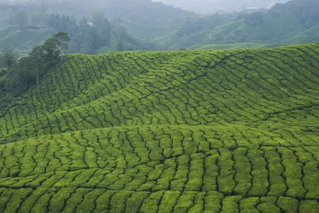 cameron highlands: tea plantation cameron highlands Stock Photo