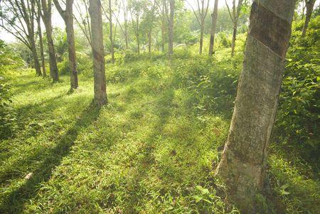 rubber plantation Stock Photo - 5796442
