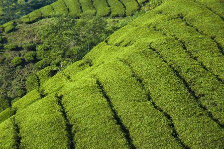 cameron highlands: tea plantation cameron highlands Stock Photo