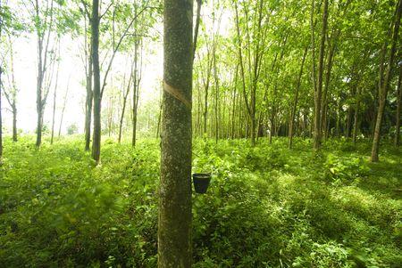 rubber plantation Stock Photo - 5781154