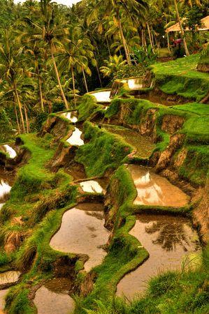 balinese rice terrace Stock Photo - 5781169