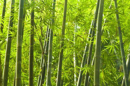 japones bambu: bosque de bamb� Foto de archivo
