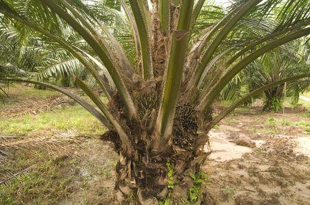 palm oil plantaion in malaysia photo