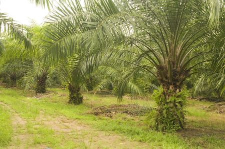 Palm oil to be extracted from its fruits. Fruits turn red when ripe. Photo taken at palm oil plantation in Malaysia, which is also the world largest palm oil exporting country.   photo