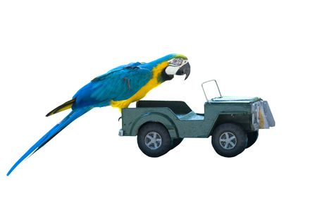isolated macaw parrot on a toy car photo