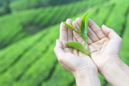 cameron highlands: a pair of hand holding tea leaf harvest from nature