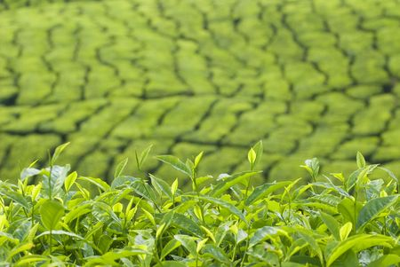 tea plantation at cameron highlands, malaysia photo