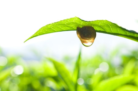 snail on tea leaf photo