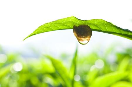 snail on tea leaf photo
