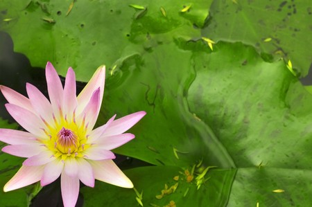 close up shot of pink lotus with copyspace green background  photo