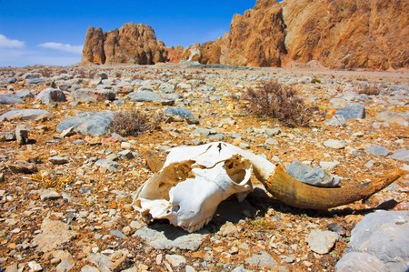 dry cow: a skull on a desert  Stock Photo