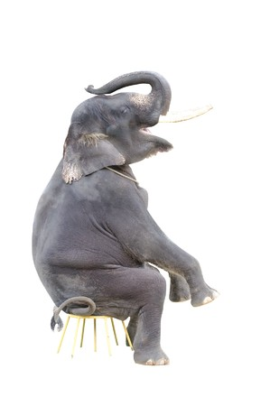 circus elephant: isolated elephant on a sitting position