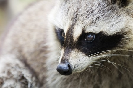 close up zoom shot of a racoon
