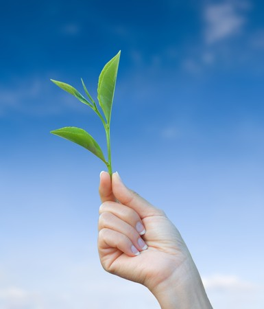 hand holding plant: hand holding green tea leaf with blue sky background   Stock Photo