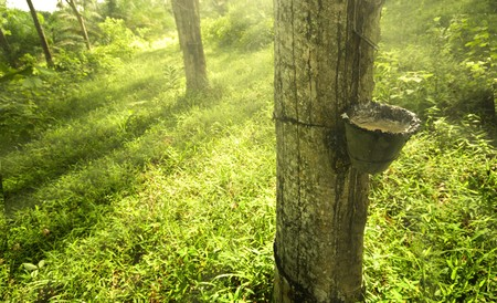 latex: rubber plantation in the morning with ray of lights