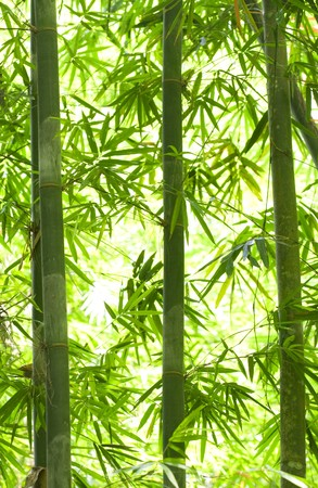 backlights: bamboo forest with a lot of backlights