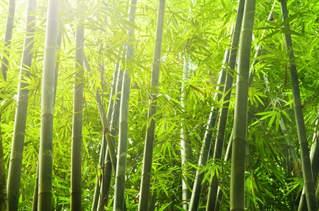 shot of bamboo forest with ray of lights  photo