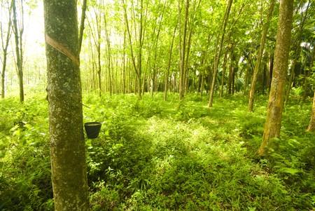 tree plantation: close up shot of rubber trees