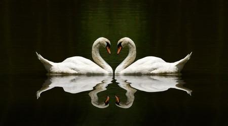 swans: reflexi�n de amor de cisne sobre un lago hermoso  Foto de archivo