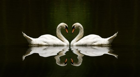 birds of paradise: swan love reflection over a beautiful lake