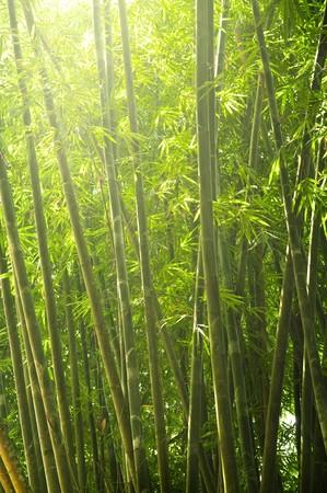 japones bambu: bosque de bamb� temprano en la ma�ana con rayo de luces