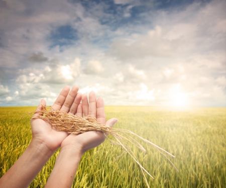 rice harvest: hand holding harvested paddy during early morning field Stock Photo