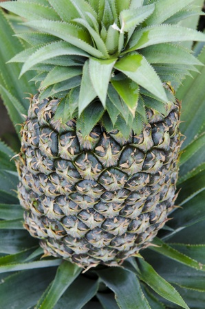 pineapple at pinapple farm photo