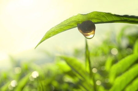 caracol: foto de concepto verde de naturaleza de té Foto de archivo