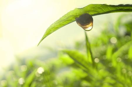 tea garden: Snail on tea leaf with morning sunlight reflect on dew.