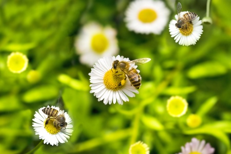 macro shot of honey bee on camomile  Stock Photo - 8943199