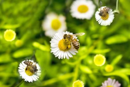 macro shot of honey bee on camomile Stock Photo - 8943199