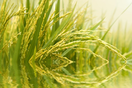 close up shot of paddy rice field with water reflection