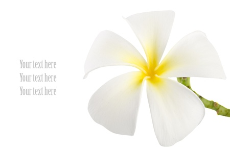 copy sapce: frangipani with isolated white background and copy sapce Stock Photo