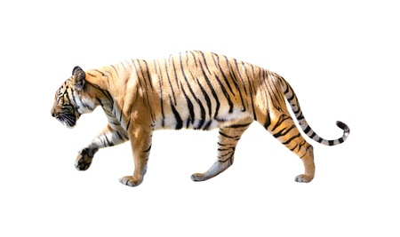 siberian: tiger with isolated white backgrouind Stock Photo