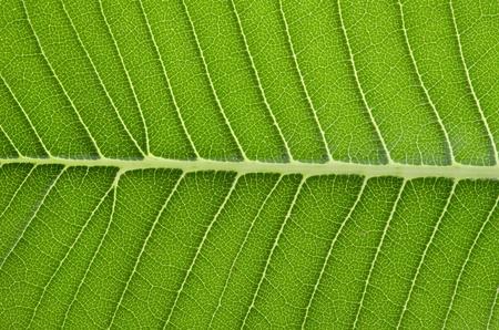 the frangipani leaf background  photo