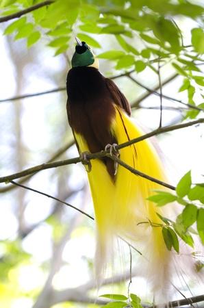 new guinea: Minore di uccello del paradiso o Paradisaea minore. Uno degli uccelli pi� esotiche in Papua Nuova Guinea.